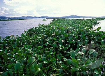 Masses of water Hyacinth collecting downwind on Lake Victoria, Uganda.